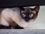 Trevor: 2-year-old male Siamese cat