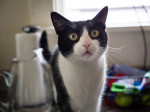 Betty Boop: 7-year-old female American short-haired cat