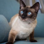 James Trevor, 1st: 1-year-old male Siamese cat